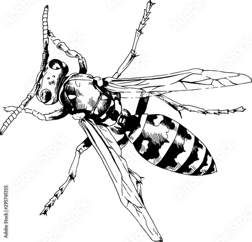 large striped wasp with a sting hand-drawn ink sketch Tapéta, Fotótapéta