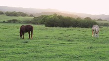 Still Shot Of Two Large Horses...