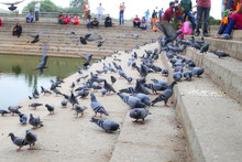 Beautiful Pigeons Eating Bread...