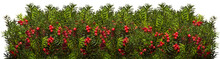 Yew Twigs With Red Berries O W...