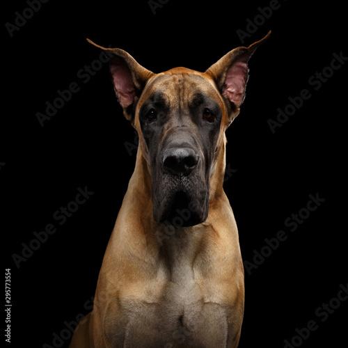 Fotografía Close-up Portrait of Great Dane Dog, tan fur Gazing on Isolated Black Background