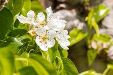 Closeup Of Pear Tree Flowers B...