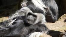 Angolan Colobus Monkey Sunbath...