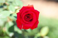 Rose / Cultivars / Kardinal /カーディナル