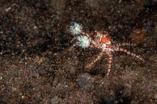 Boxer Crab Underwater Close Up...