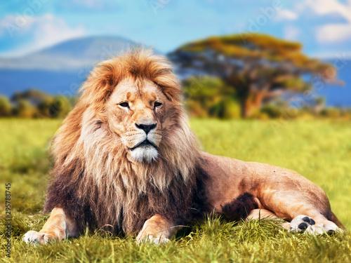 Foto op Plexiglas Leeuw male lion