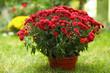 Leinwandbild Motiv Beautiful red chrysanthemum flowers in pot outdoors