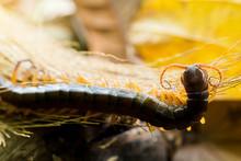 Centipedes Climb To Sleep On D...