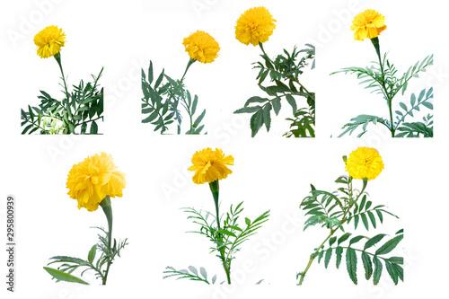 Pinturas sobre lienzo  Marigold (scientific name: Tagetes erecta L