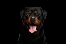 Portrait Of Rottweiler Dog Looking In Camera With Hope, Isolated On Black Background, Front View