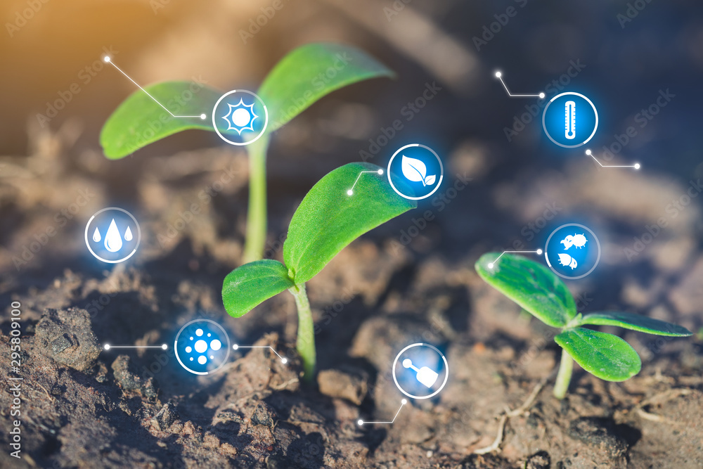 Fototapeta Seedlings are growing, Modern agriculture with technology concept