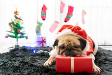 Happy New Year, Merry Christmas, Holidays And Celebration, Puppy Pets Bored Sleeping Rest In The Room With Christmas Tree. Pug Dog In Santa Claus Costume Hat With The Gift Box And Sock In Background
