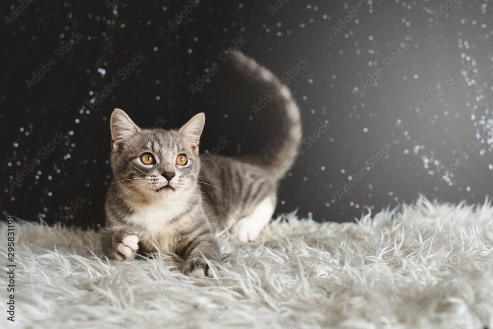 Fototapety, obrazy: Active kitten playing. Mixed breed of maine coon with british shorthair
