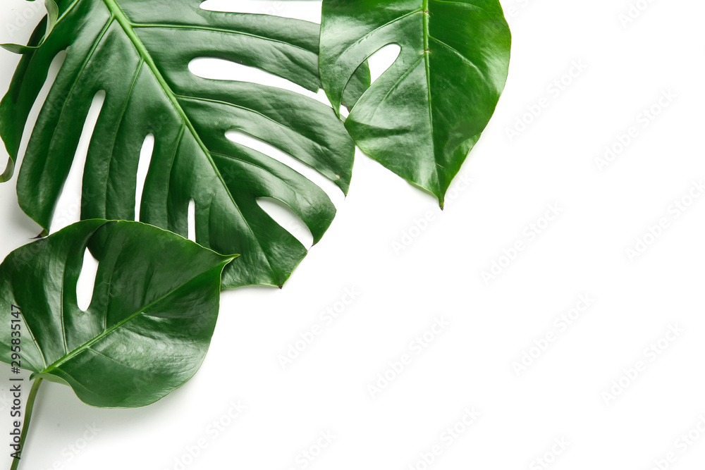 Fototapety, obrazy: Fresh tropical leaves on white background