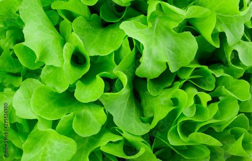 Obraz close-up fresh green organic lettuce background - fototapety do salonu