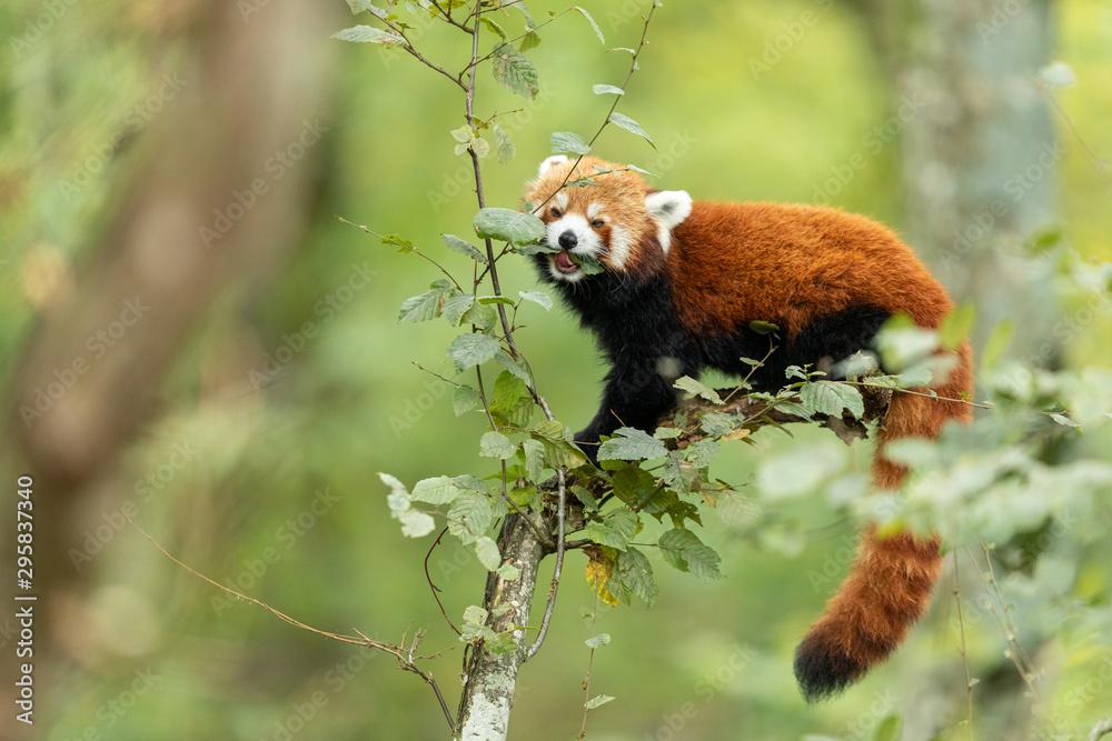 Fototapeta Red panda eating on the tree