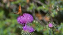 Farfalla Arancione A Puntini Neri Posata Sul Cardo Nel Prato In Montagna