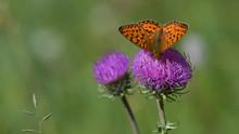 Farfalla Arancione A Puntini N...