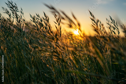 Fotografija golden Wild wheat on the field at sunset sunrise