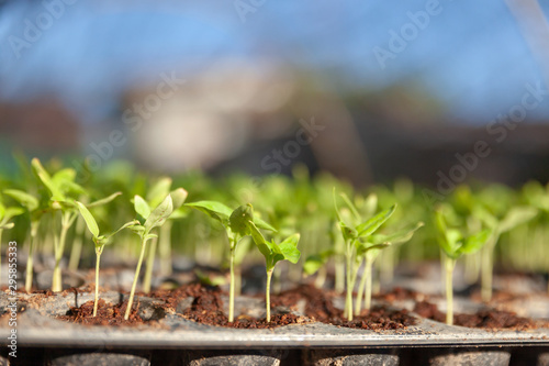 Vegetable plant on blurred background. Young plants in nursery plastic tray, Nursery vegetable farm. close up of seedling growing in black plastic tray.