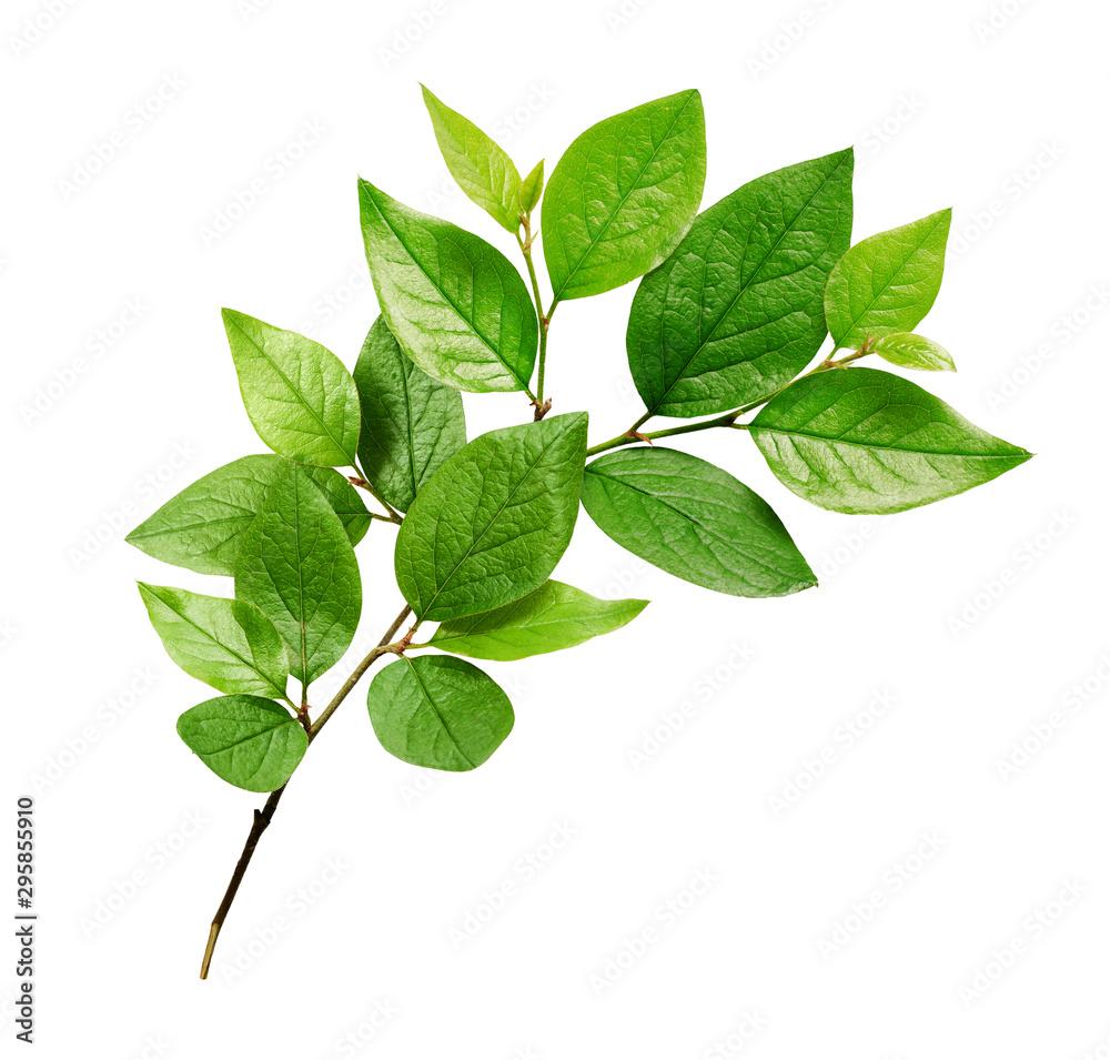 Fototapeta Twig with green leaves