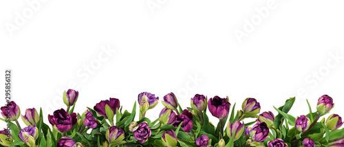 Purple peony tulip flowers in a bottom border Canvas Print