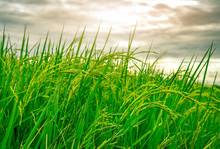 Green Rice Paddy Field. Rice P...