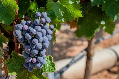 Bunch of grapes pending harvest in Spanish vineyard