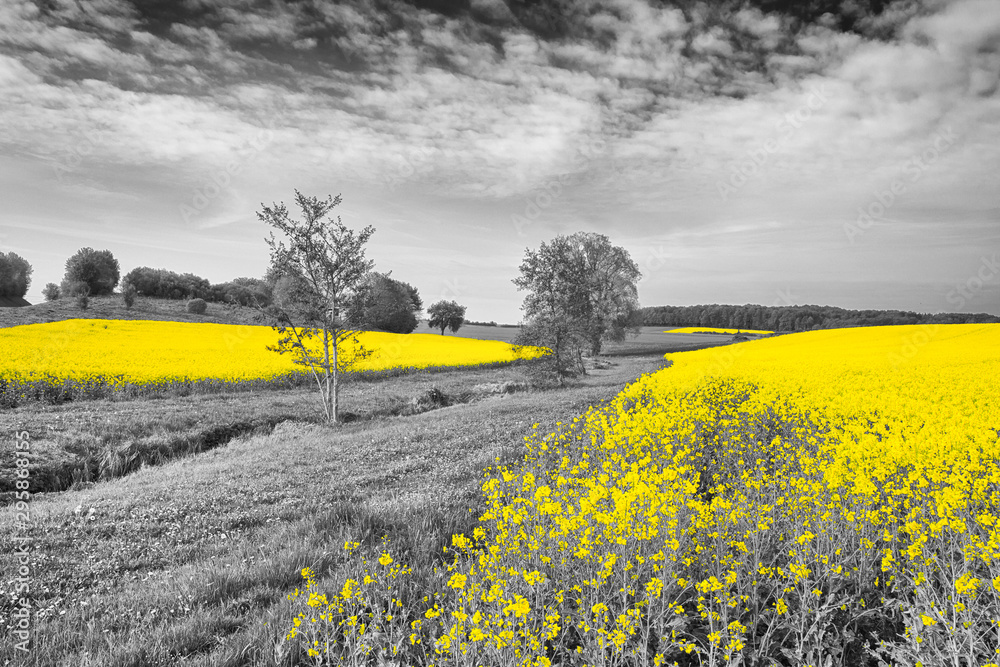 Fototapeta Shining yellow oilseed rape fields in a black and white landscape. Artistically alienated with the color-key method.