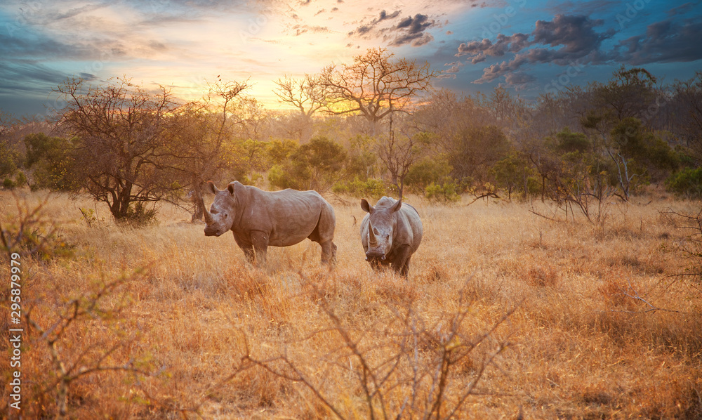 Fototapeta Two Rhinos in late afternoon, Kruger National Park