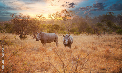 Photo sur Aluminium Rhino Two Rhinos in late afternoon, Kruger National Park