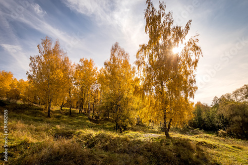 Autocollant pour porte Bosquet de bouleaux Birches in a sunny golden autumn day. Leaf fall.