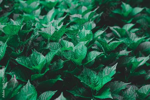 Valokuva  Dark green foliage of a healthy plant serrated leaves, horizontal background