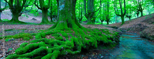Printed kitchen splashbacks Green Beech forest (Bosque de Hayas), Gorbeia Natural Park, Alava-Bizkaia, Basque Country, Spain, Europe