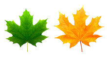 Two Maple Colored Leaves. Isol...