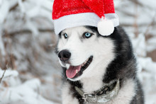 Dog Portrait In A Red Santa's Hat. Black And White Siberian Husky With Blue Eyes Outdoors In Winter. Merry Christmas And Happy New Year.