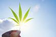 Leinwandbild Motiv Cannabis leaf against the sky. hand holding a marijuana leaf on a background of blue sky. Background of the theme of legalization and medical hemp in the world.