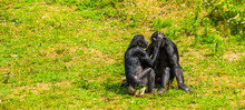 Bonobo Couple Grooming, Human ...