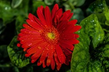 Orange-Red Gerbal Daisy With Raindrops