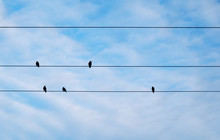 Birds Sit On Power Lines.