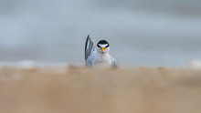 A Curious Least Tern On A Wind...