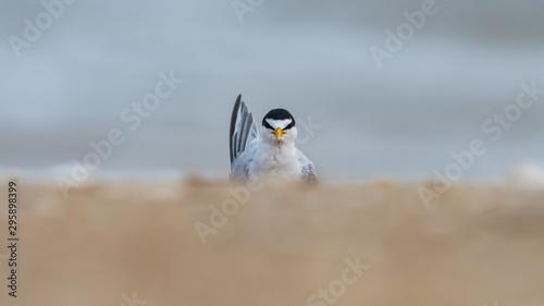 Poster Cygne A curious Least Tern on a windswept beach.