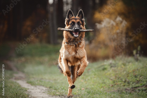 Fotomural portrait of beautiful young long haired female german shepherd dog running with