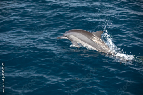 Fotografering Indo-Pacific bottlenose dolphin (Maldives, Tursiops aduncus)