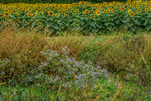 Sunflowers And Wildflowers