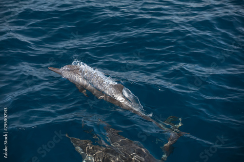 Fotografie, Tablou Indo-Pacific bottlenose dolphin (Maldives, Tursiops aduncus)