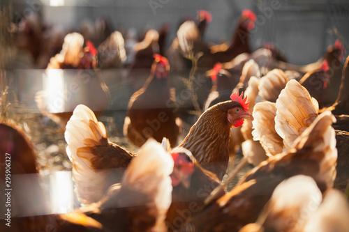 Poster Poules 2levage de poules en plein air
