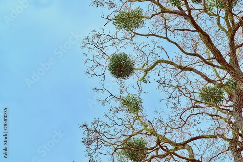 part abstract branchy trees with spherical leaves closeup against the background Tapéta, Fotótapéta