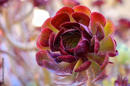 Black Rose Aeonium Desert Plant