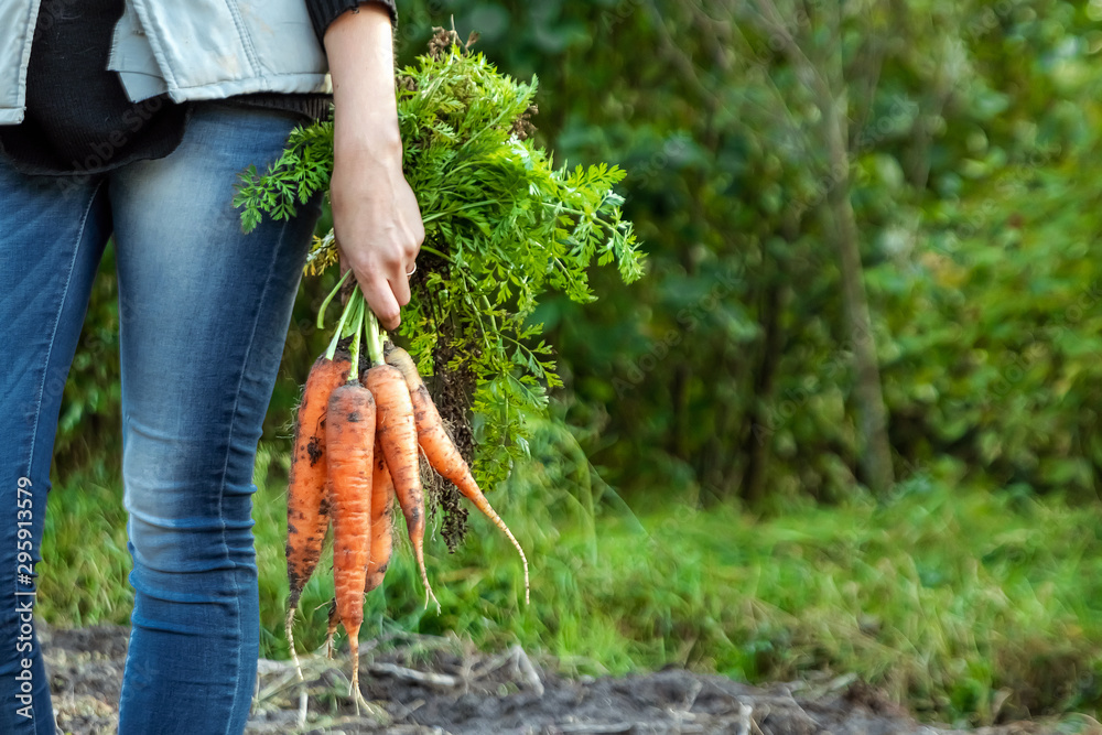 Fototapeta Farmer girl holding fresh orange carrots in her hands, close-up, organic fruits. The concept of a garden, cottage, harvest.